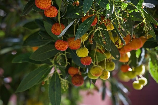 Erdbeerbaum Cala Millor